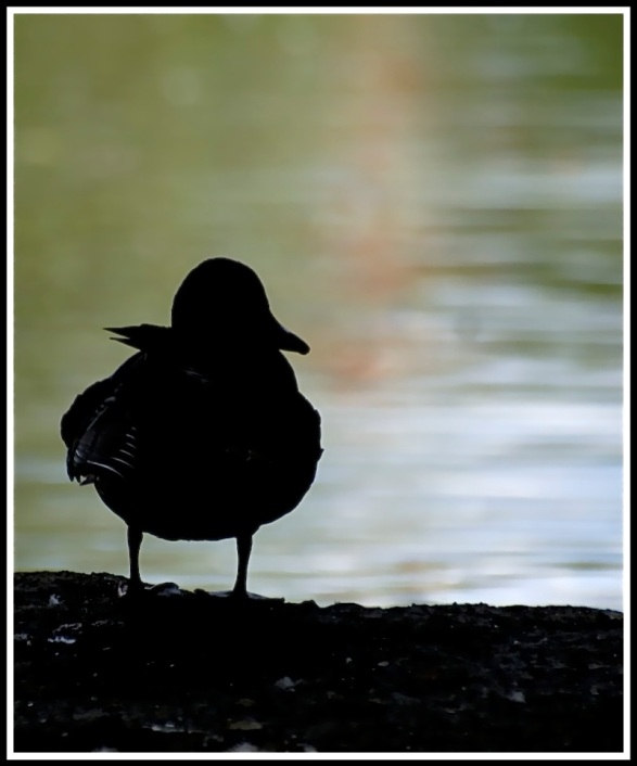 A duck silhouetted as it stands on a log