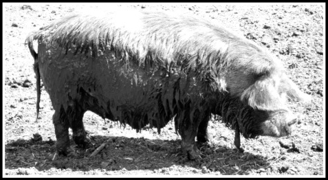 a side profile of a pig dripping with mud all over