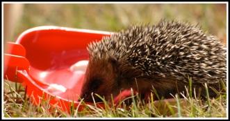 a close up photo of a baby hedgehog