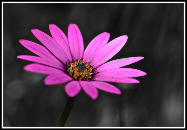 Blue cloloured flower on a black and white background