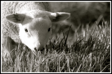 close up photo of a lamb as it eats grass and looks into the camera