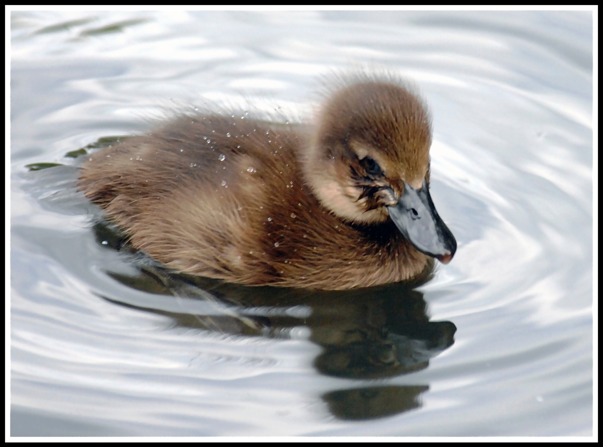 a tiny duckling sat still on a lake