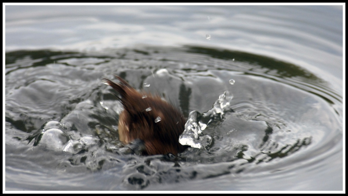 just a big circular splash as the duckling crashes into it's dive and splashes water everywhere! :)