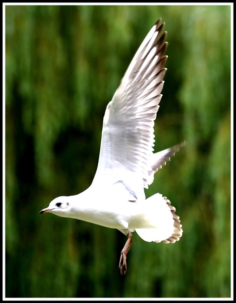 A photo of a white bird flying from right to left past a green weeping willow