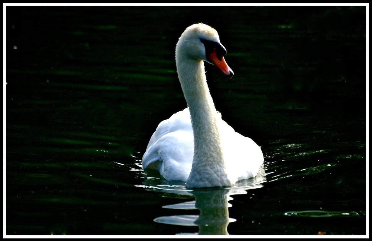 A swan looking peaceful floating on a dark lake