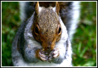 close up photo of a grey squirrel eatinga mini cheddar biscuit