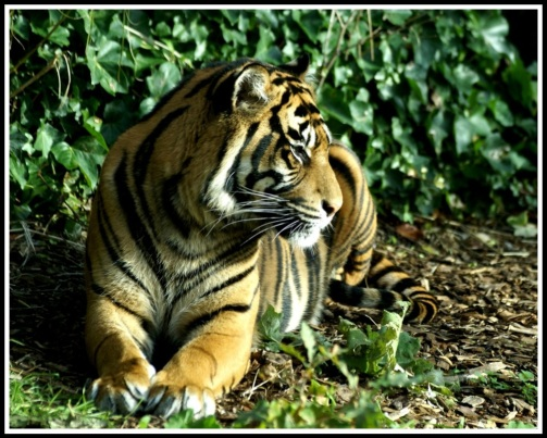 a tiger lying down as it's face glows in the sunlight