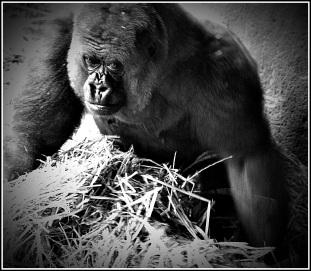 Gorilla pictured at Chessington World of Adventures
