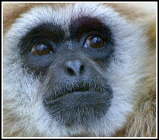 A portrait of a black faced monkey looking up and back over his left shoulder