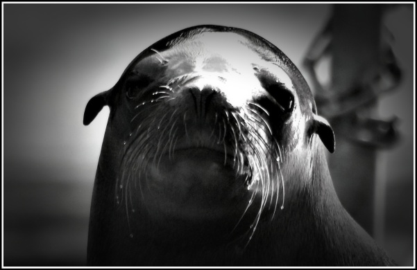 portrait of a seal looking directly at the camera! :)