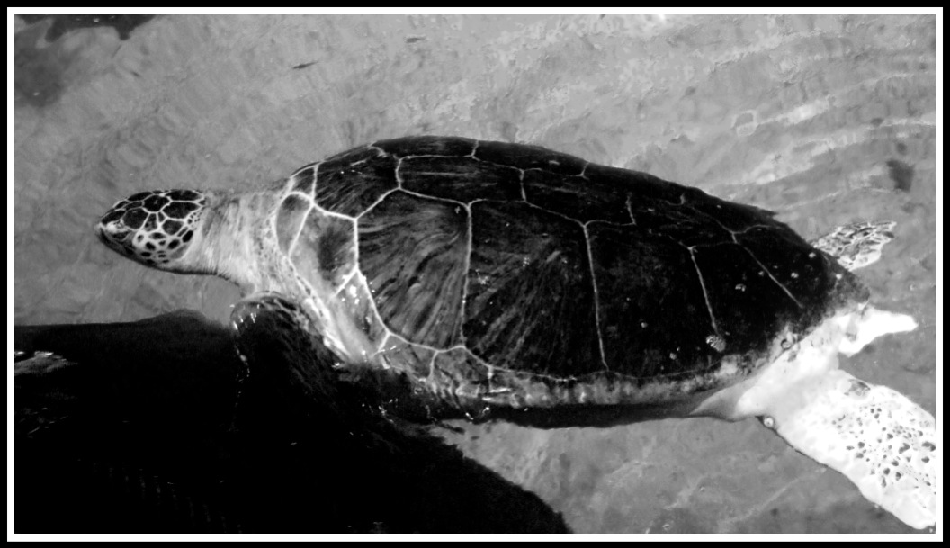 side profile of a turtle swimming hard across the top of the water