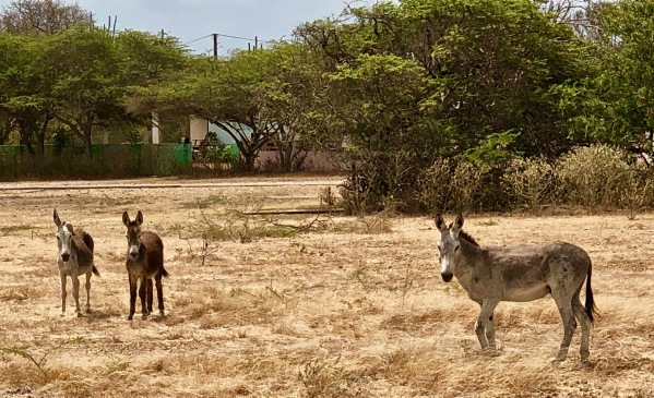 The Bonaire Donkeys